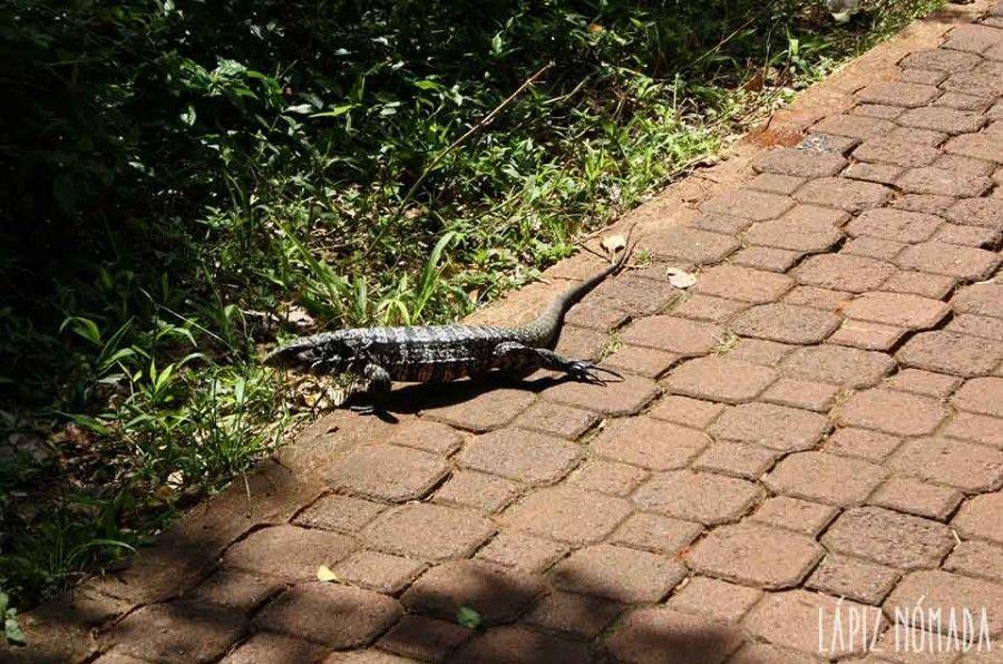 lagarto-parque-nacional-iguazú