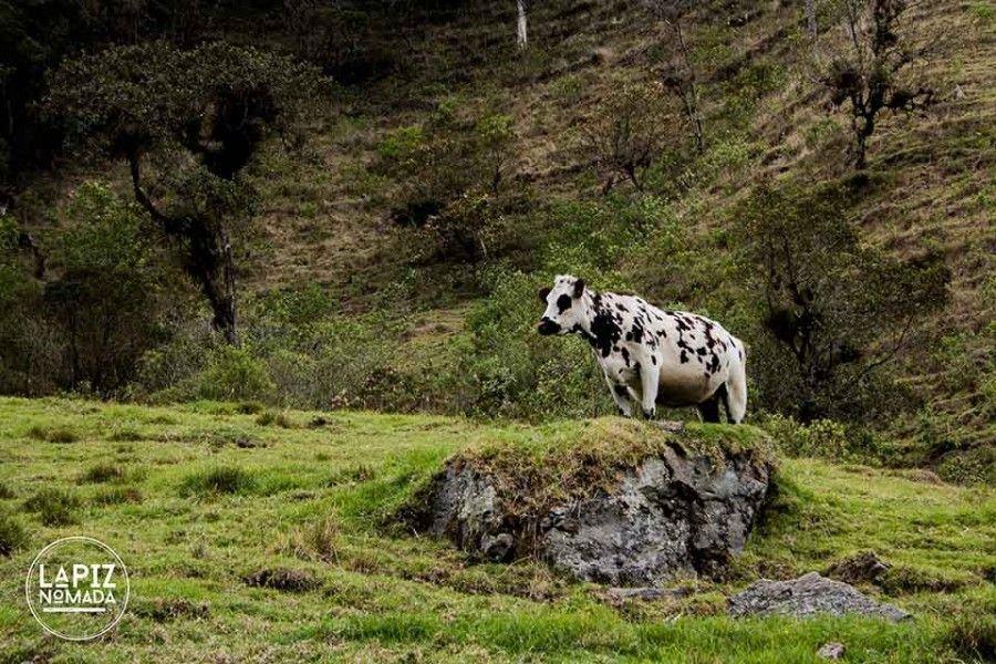 Lápiz-nómada-blog-viajes valle del cocora vaca